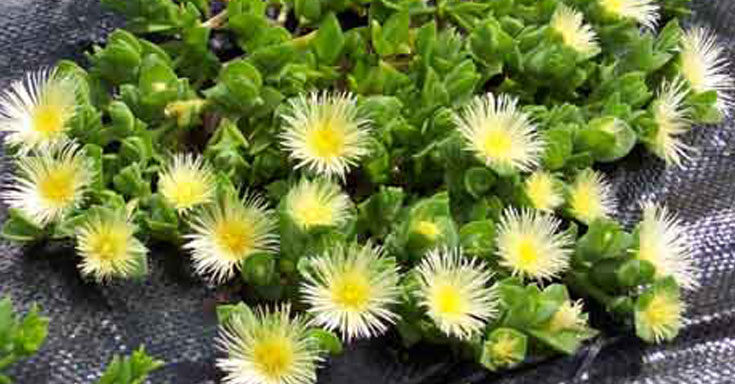 Benefits of Sceletium